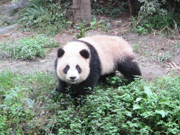 5999 - panda reserve visit
