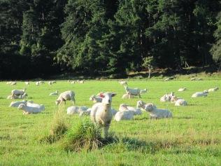 10374 - badddd to the bone (sheep photo)