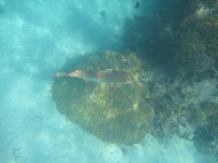 10972 - Rangiroa - snorkelling with the sharks